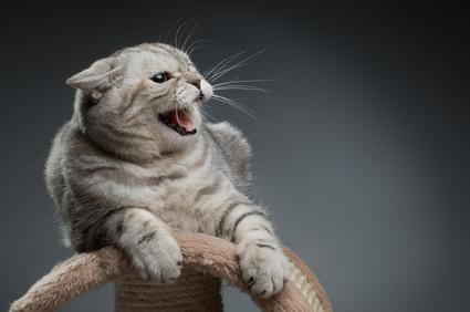 Mon chaton a toujours t brutal il s excite tr s vite il ne sait pas jouer sans mettre les - Quand peut on couper les griffes d un chaton ...